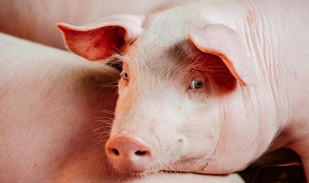 Vleesindustrie zet met Code voor dierenwelzijn puntjes op de i